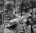 Queensland State Archives 97 Paths constructed by Sir Thomas Herbert John Chapman Goodwin in the grounds of Government House Fernberg Road Paddington Brisbane c 1930.png