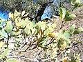 Quercus douglasii-3.jpg