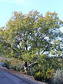 Quercus faginea 2009December20 Habitus SierraMadrona.jpg