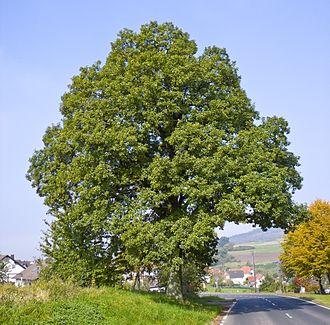 Quercus petraea - A mature tree