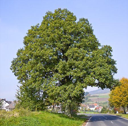 Fișier:Quercus petraea 06.jpg