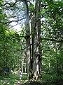 Quercus petraea JPG1a.jpg