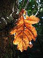 Quercus robur (xndr).jpg