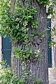 Quercus robur water sprouts (09).jpg