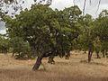 Quercus suber.Alentejo04.jpg