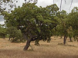 Quercus suber.Alentejo04