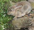 Rabbit-Burnie-20160609-001.jpg