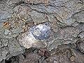 Rafinesquina ponderosa (fossil brachiopod) (Arnheim Formation, Upper Ordovician; Roaring Run, Warren County, Ohio, USA) 2 (31612620138).jpg