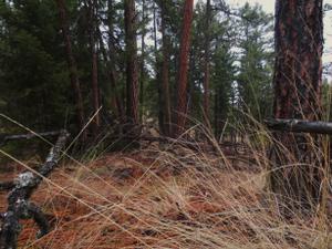 Forest floor - Boreal Forest Floor in the Okanagan, British Columbia