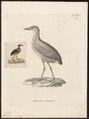 Rallina rubiginosa - 1700-1880 - Print - Iconographia Zoologica - Special Collections University of Amsterdam - UBA01 IZ17500151.tif