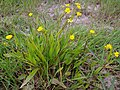 RanunculusFlammula4.jpg
