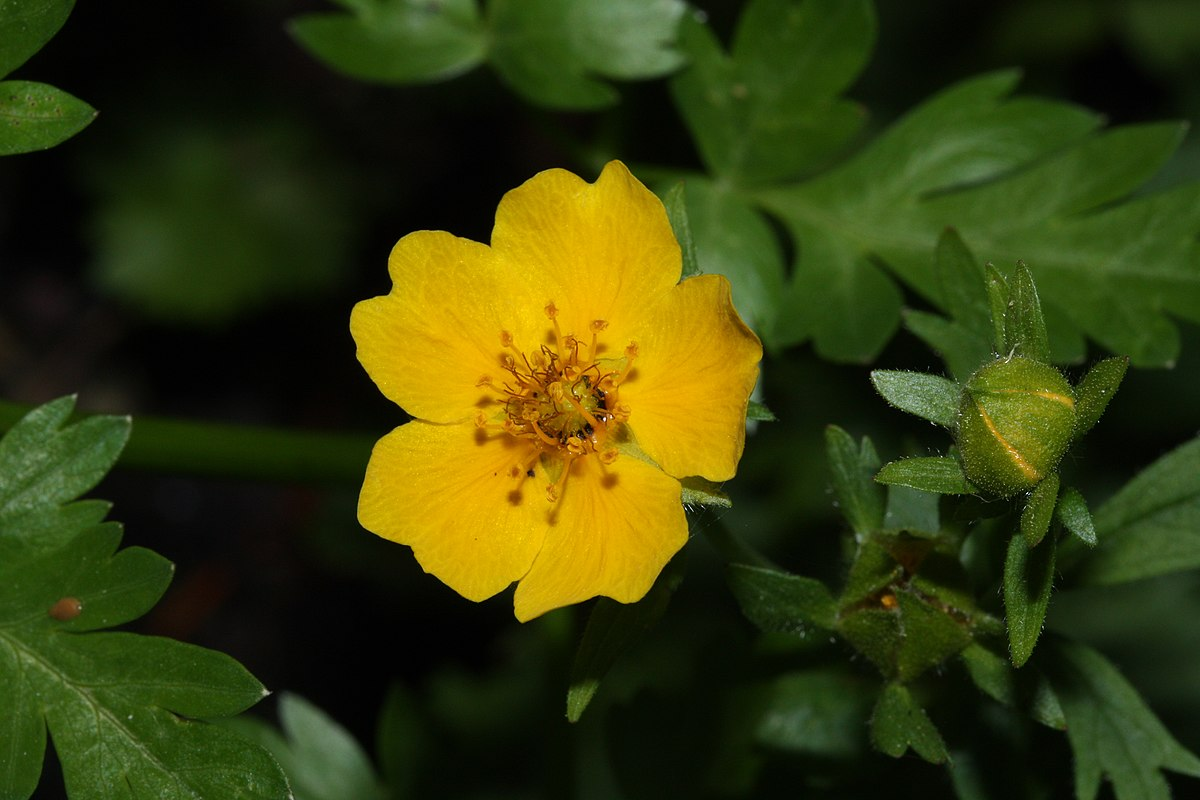 Ranunculus Wikipedia