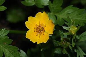 Ranunculus - Eschscholtz's buttercup (Ranunculus eschscholtzii)