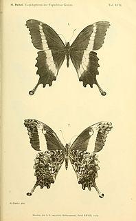 <i>Papilio leucotaenia</i> species of insect