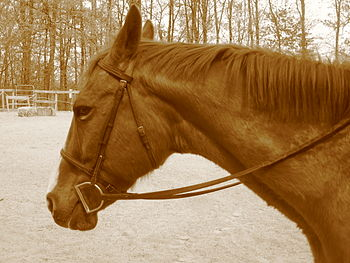 English: This is my lease horse, Red. He's a r...