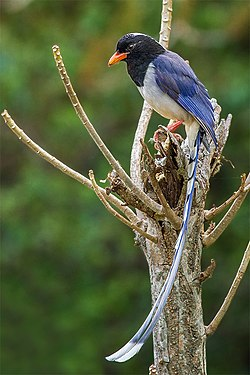 Red-billed Blue Magpie - Timlipani, Uttarakhand, India.jpg