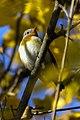 Red-breasted Flycatcher - Near Padova ( Veneto ) - ItalyCD5A9281 (30993354756).jpg
