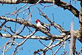 Red-headed Woodpecker (102504171).jpg