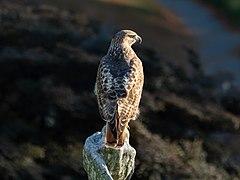 Red-tailed hawk in GWC (42417).jpg