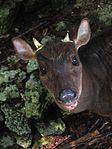 Red Brocket Deer in Barbados 05.jpg
