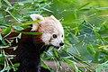 Red Panda (23647938238).jpg