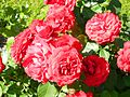 Red Rose flowers 07.jpg