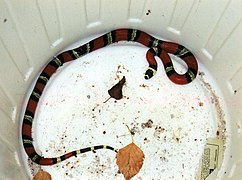 Red black coral snake.jpg
