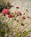 Red desert flower JTNP.jpg