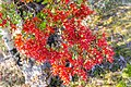 Red mistletoe, Kahurangi National Park, New Zealand 09.jpg