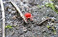 Red mite (2636159019).jpg
