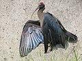 Red naped ibis.img.jpg