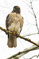 Red tailed Hawk visits Salem (15799079219).jpg