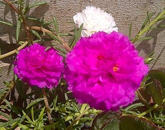 Portulaca grandiflora - Two cultivars of Portulaca grandiflora