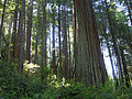 Redwoods in Richardson Grove State Park 2.jpg