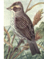 Reed-savannah-sparrow.png