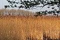 Reed near Zeeburg, Amsterdam (26210516401).jpg