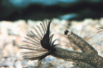 Sabellidae sp. (Feather duster worm) with radi...