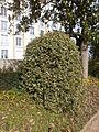 Rennes, parc du Thabor - Houx panaché.jpg