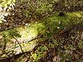 Rezerwat przyrody Dęby w Meszczach 12.37.jpg