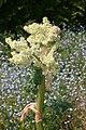 Rhabarberblüte Rheum rhabarbarum flower.JPG