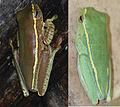 Rhacophorus lateralis morphs.jpg