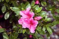 Rhododendron Gumpo Pink 1zz.jpg