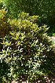 Rhododendron adenogynum - UBC Botanical Garden - Vancouver, Canada - DSC07744.jpg