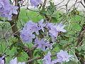 Rhododendron impeditum0.jpg