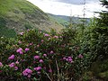 Rhododendron in front of Foel Benddin - geograph.org.uk - 57685.jpg