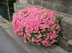 Description de l'image  Rhododendron indicum2.jpg.