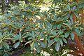 Rhododendron lacteum - VanDusen Botanical Garden - Vancouver, BC - DSC07220.jpg