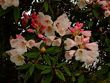 Rhododendron pseudochrysanthum.JPG