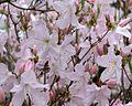 Rhododendron schlippenbachii (Royal Azalea) (26895272610).jpg