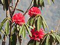 Rhododendron tree 04.jpg
